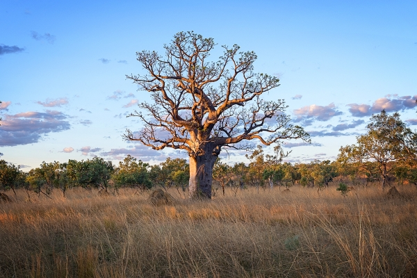 Jason Mazur - 'Boab Tree, Kimberley 032'
