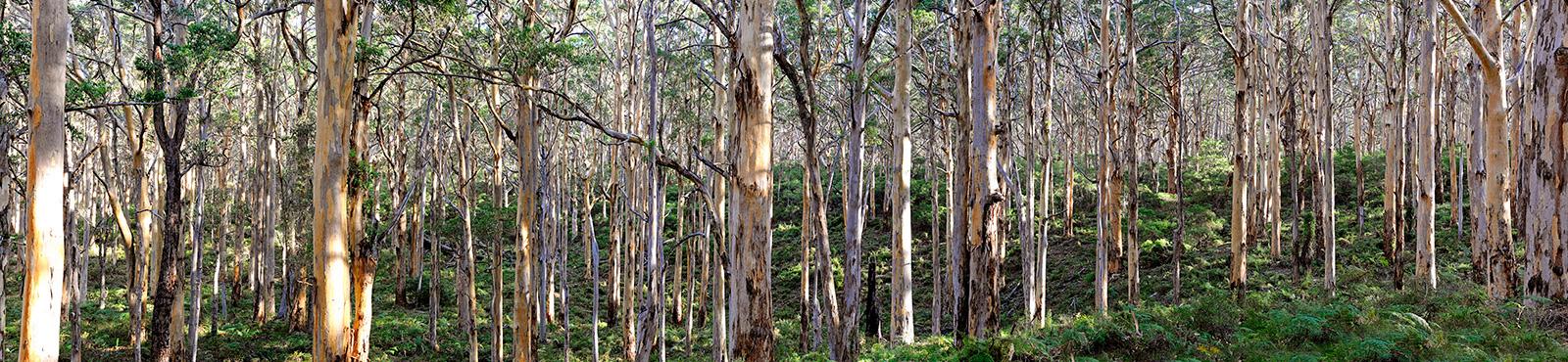 Jason Mazur - 'Boranup Forest, Margaret River W.A. 034'