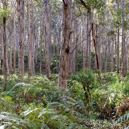 Boranup Forest Panorama