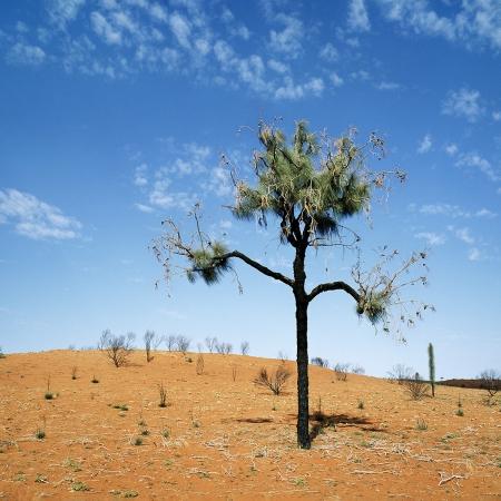 Casuarina Tree, Central Australia