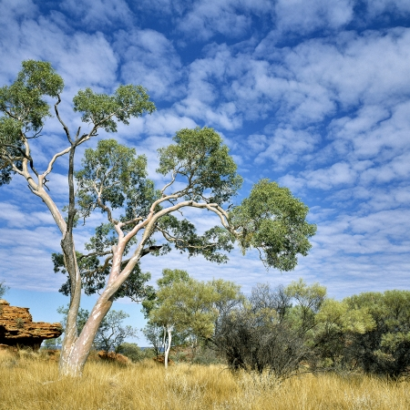 Eucalyptus, Kings Canyon, Central Australia