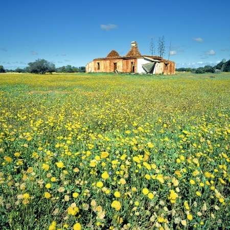 Yellow Everlastings and Ruins near Yalgoo