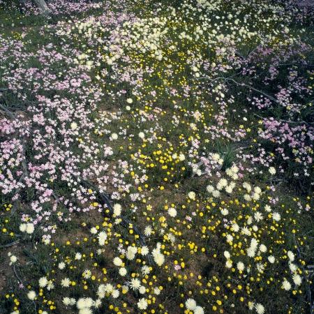 Wildflowers near Paynes Find