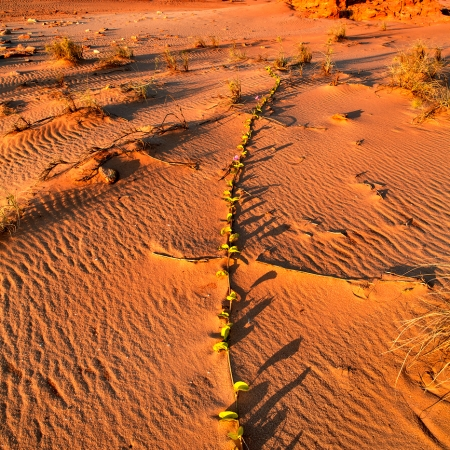 Vine in the Sand, Cape Leveque