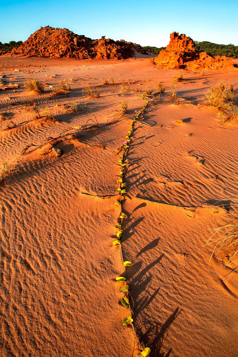 Vine in the Sand, Cape Leveque