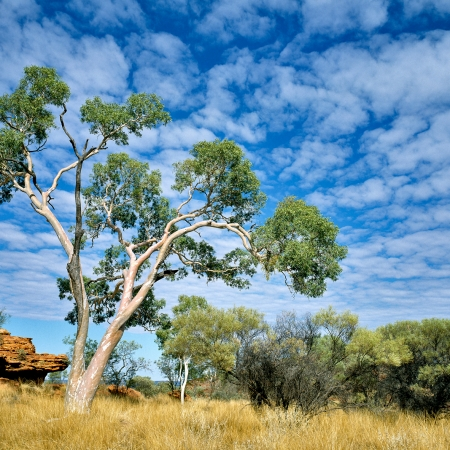 Eucalyptus, Kings Canyon, Central Australia