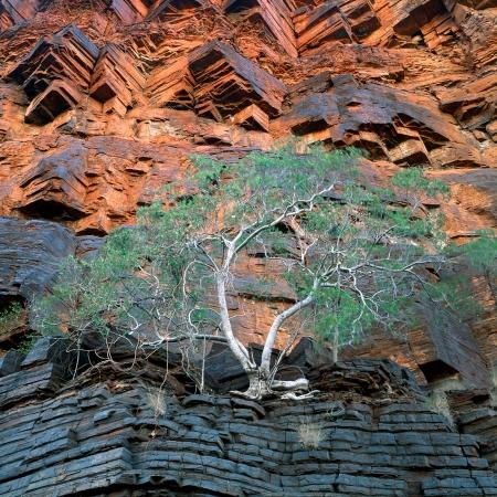 Fig Tree, Wittenoom Gorge, Karijini N.P.