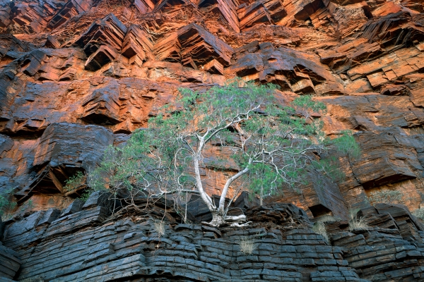 Fig Tree, Wittenoom Gorge, Karijini N.P.