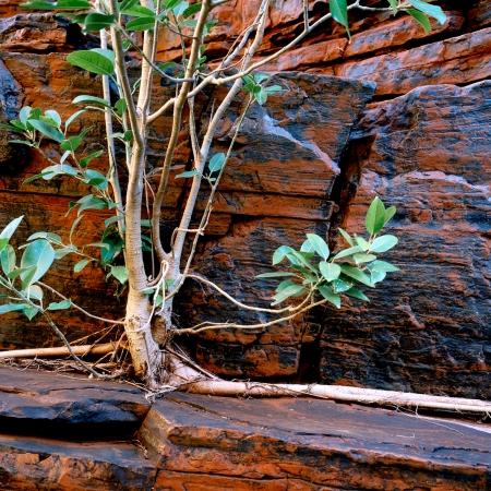 Fig Tree, Joffre Gorge, Karijini NP