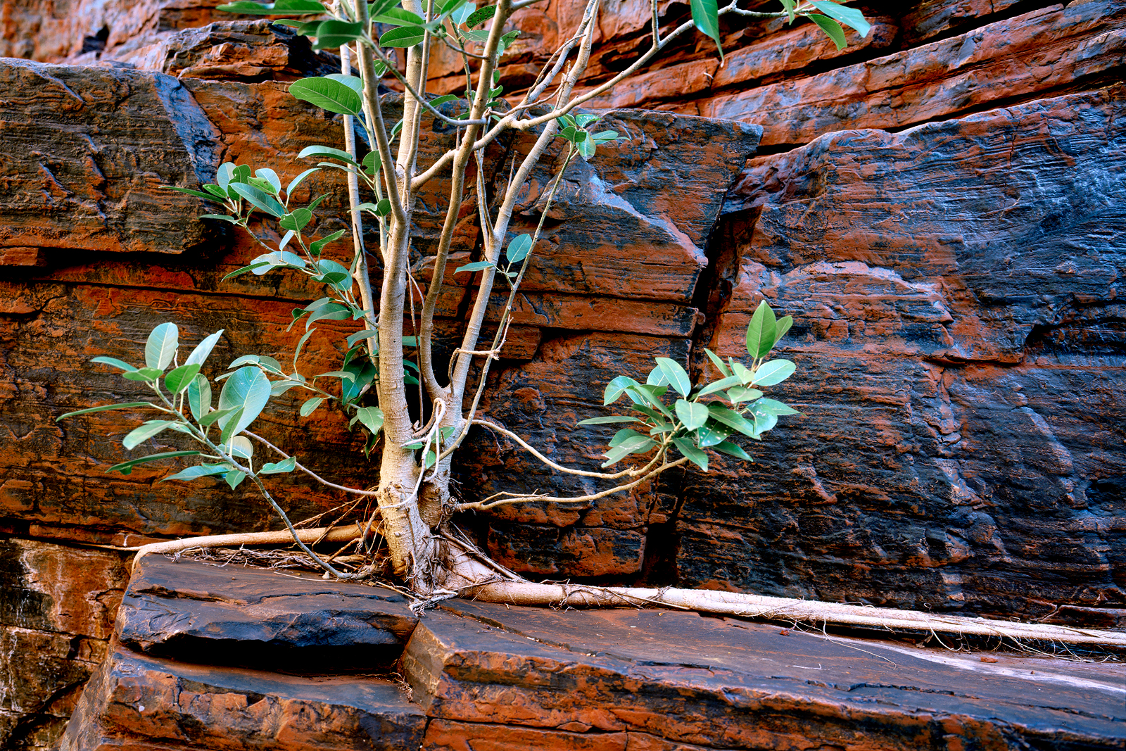 Fig Tree, Joffre Gorge, Karijini NP