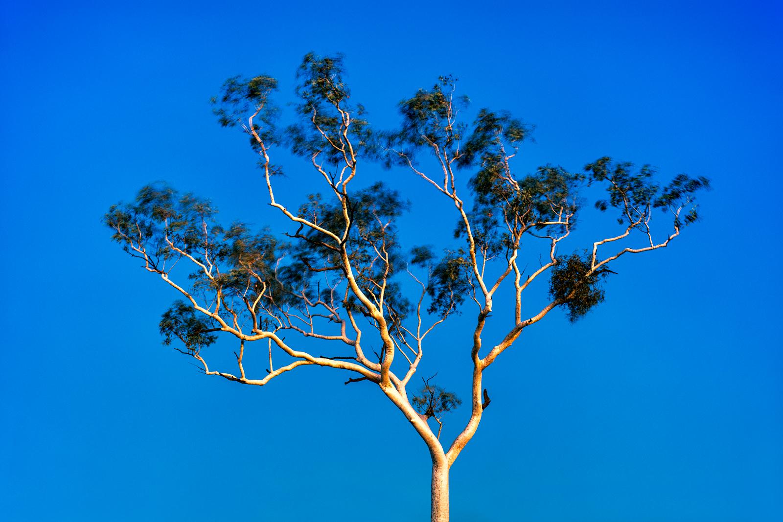 Gum Tree at Dusk, Karijini NP
