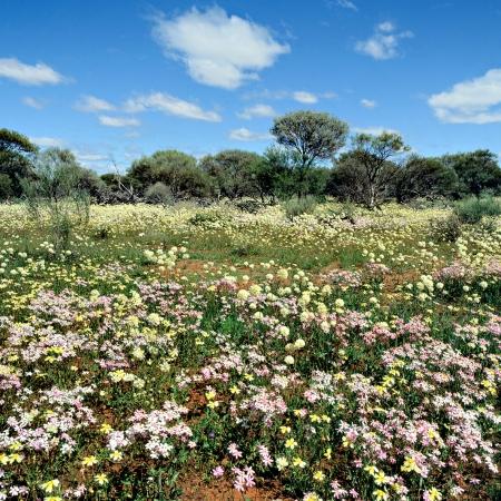 Wildflowers near Yalgoo