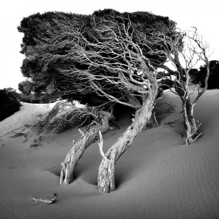 Windswept Trees, Injidup Dunes, Yallingup